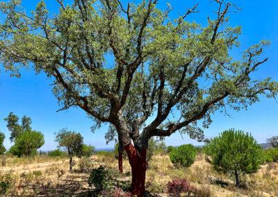 Korkeichen im Alentefo und im Landesinneren der Algarve. Kork ist der Exportschlager Portugals.